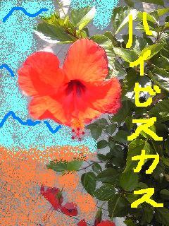 20090716haibisukasu.jpg