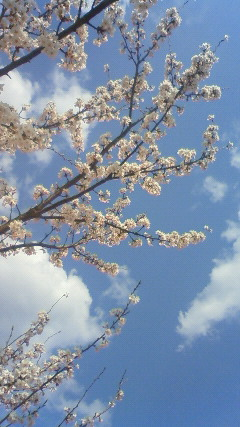 20100406sakura.jpg