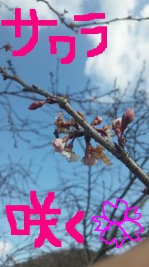 20110125sakura.jpg