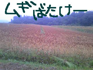 20110611mugibatake.jpg