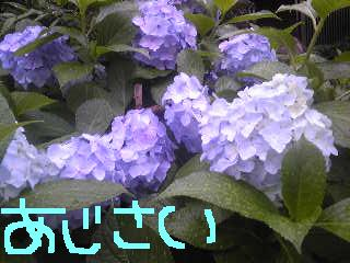 20110621ajisai.jpg
